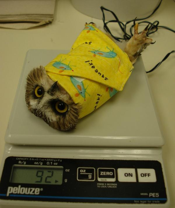 There is no connection at all between this post and this picture - I just think it helps to know how owl are weighed....