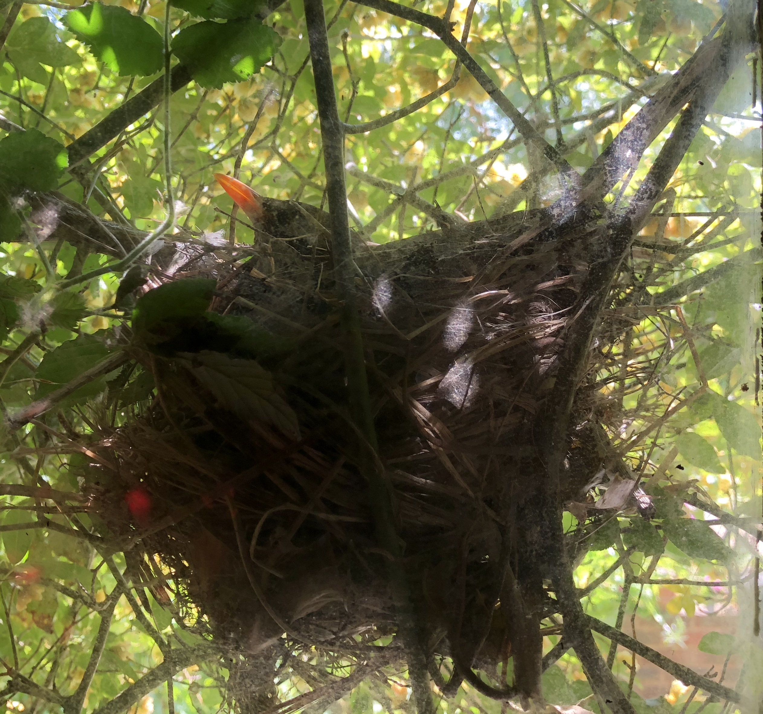 Blackbird on its nest